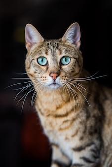 Портрет бенгальской кошки, глядя на кошку. кот с удивительными зелеными глазами, крупным планом