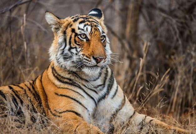 ベンガルトラの肖像画。ランタンボール国立公園。インド。