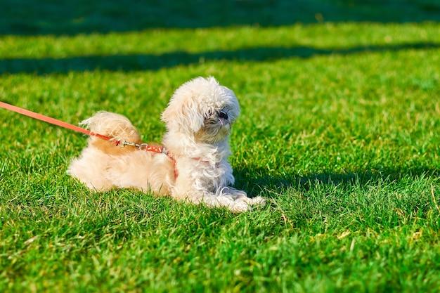 ビションフリーゼのクローズアップの肖像画、犬は草の上に横たわっています