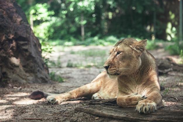 大きな美しい雌ライオンの肖像画