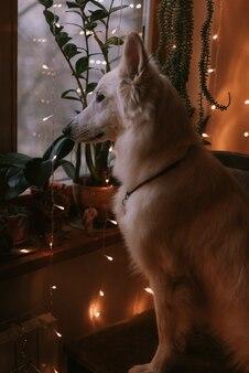 家で遊ぶ大きな犬の肖像画 Premium写真