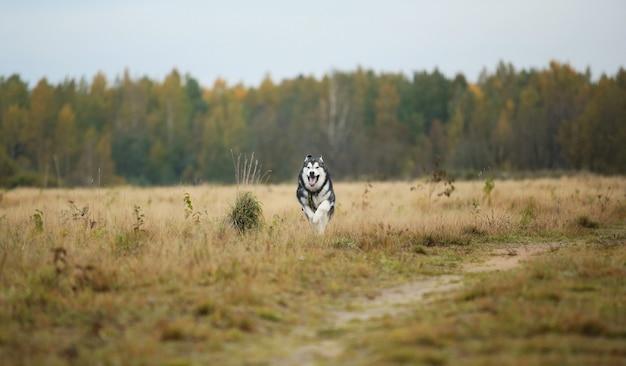 春の野原を前に走っている大きな白灰色の純血種のアラスカン・マラミュート犬の肖像画