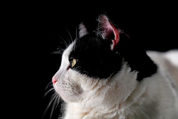 黒の背景に黒と白の猫の肖像画