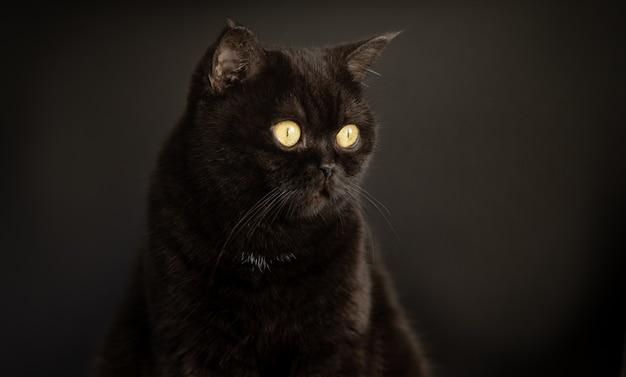 Портрет черной кошки крупным планом на черном фоне