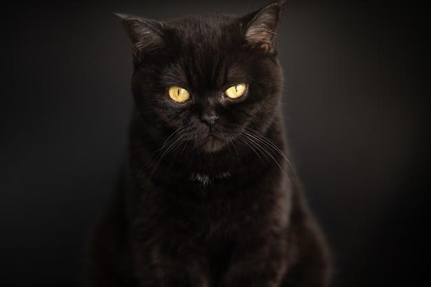 Портрет черной кошки крупным планом на черном фоне. шотландский короткошерстный кот. глаз кошки.