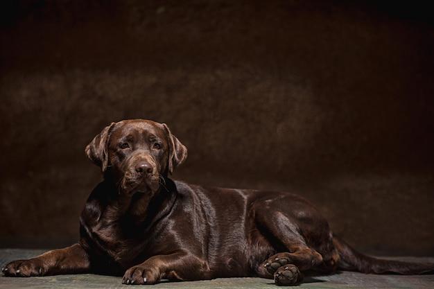 어두운 배경으로 찍은 검은 래브라도 강아지의 초상화.