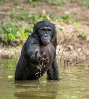 自然の中でボノボの肖像画