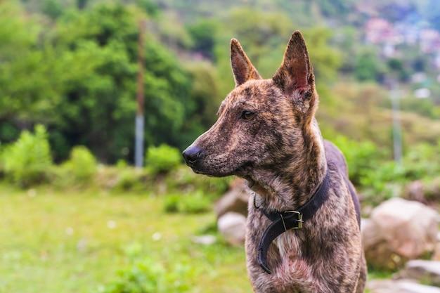 森の背景に首輪を持つ茶色の犬の肖像画。ネパール、ポカラ市