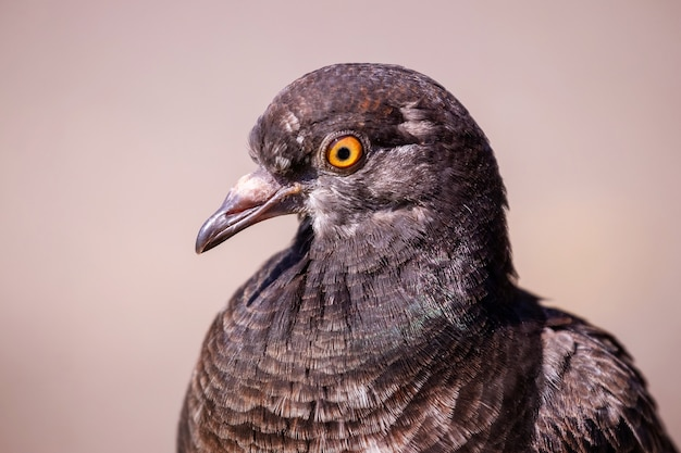 明るい茶色の背景に茶色の鳩の肖像画