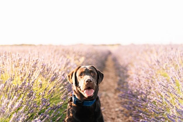 Портрет коричневого лабрадора в природе в окружении фиолетовых цветов из лавандового поля