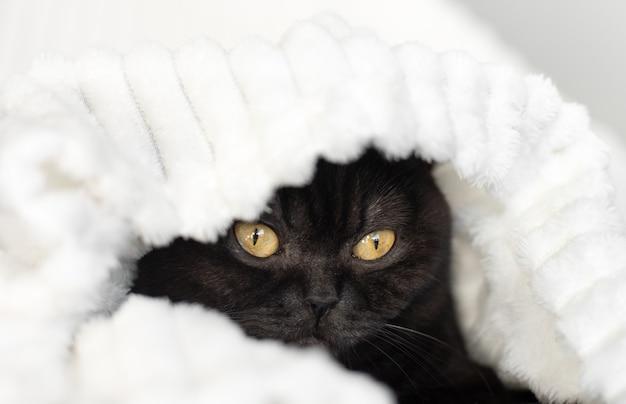 Портрет кота. симпатичная черная шотландская кошка выглядывает из-под белого одеяла