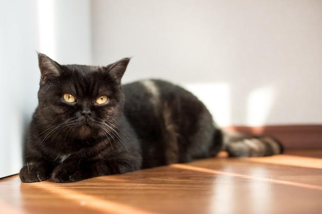 Портрет кота. шотландская короткошерстная кошка