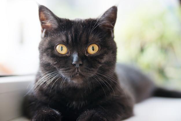 Портрет кота. шотландская короткошерстная.