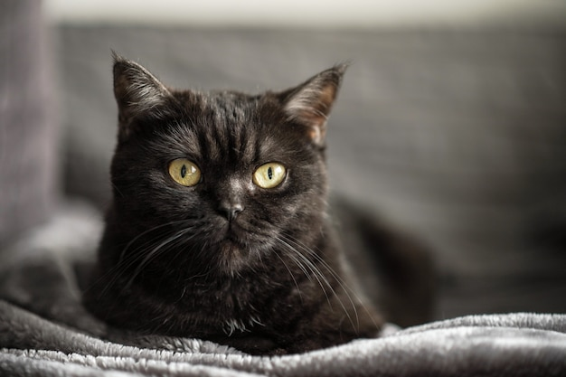 Портрет кота. шотландская короткошерстная кошка. вид кота. кошачий глаз.