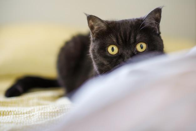 Портрет кота. шотландская короткошерстная кошка. вид кота. кошачьи игривые глаза.