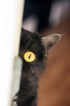 Портрет кота. шотландская короткошерстная кошка играет с лапой