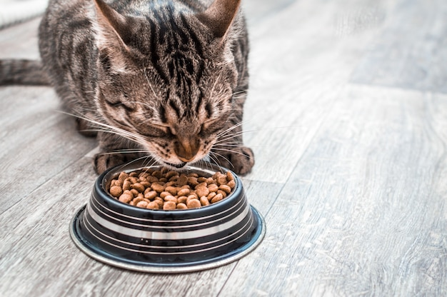 Портрет кота с миской сухого корма. ест крупным планом. копировать пространство