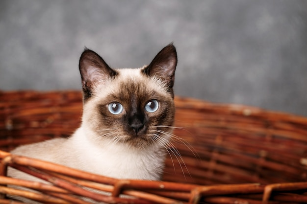 Портрет кота с голубыми глазами в корзине