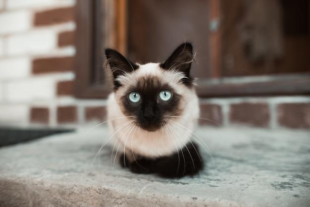青い目の猫の肖像画。サイアム子猫