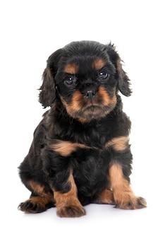 キャバリアキングチャールズの子犬の肖像画