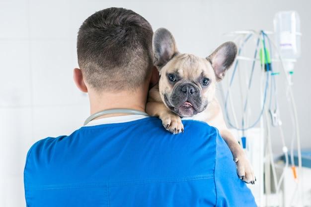 医者の腕の中に座っている魅力的なフレンチブルドッグの肖像画。後ろからの眺め。獣医クリニックの広告