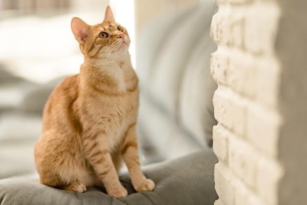 매력적인 젊은 국내 생강 얼룩 고양이의 초상화는 소파에 집에 앉아 올려