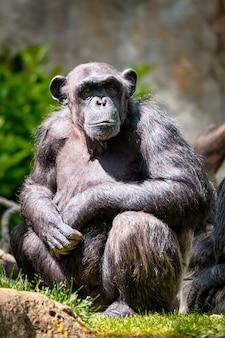 Портрет шимпанзе