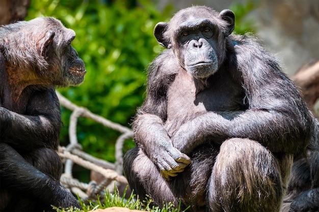 침팬지의 초상화