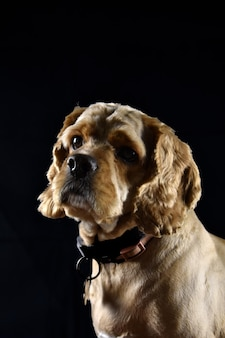 Портрет собаки кокер-спаниель на черном фоне