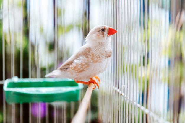 カラフルな白い鳥ゼブラフィンチ、taeniopygia guttataの肖像画、バルコニーにケージに座って、オーストラリアの在来種