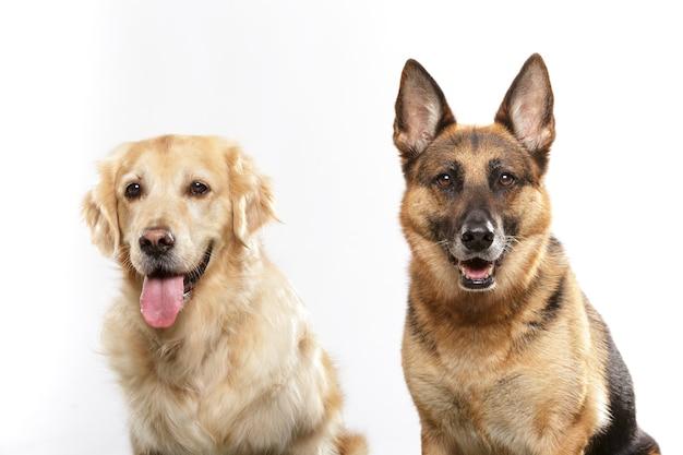 흰색 배경에 대해 표현력이 풍부한 개 한 쌍, 저먼 셰퍼드 개, 골든 리트리버 개 초상화
