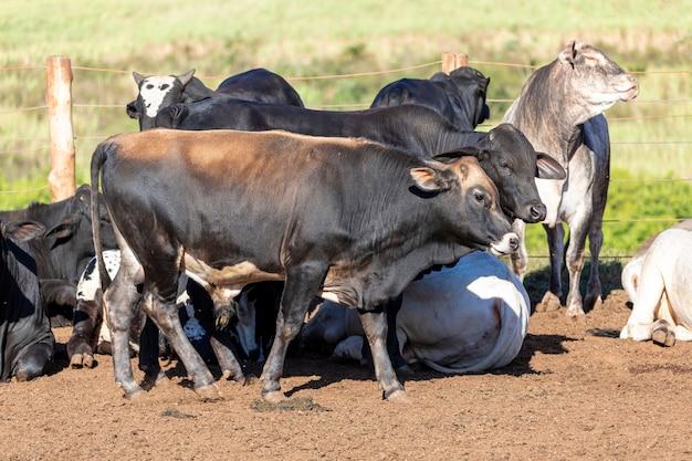 ネロールとアンガス種の交雑種の牛の肖像画。