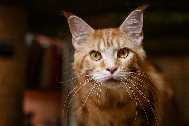 Портрет милой кошки породы мейн-кун.