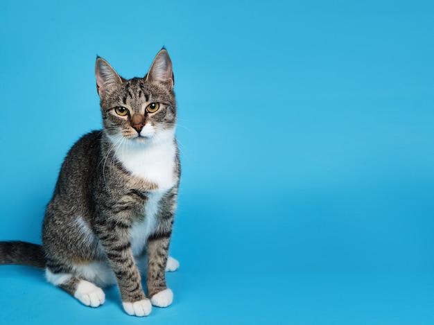 青い背景の上に座っているかわいい灰色と白の縞模様の子猫の肖像画