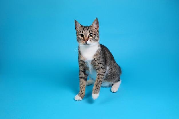 Портрет милого серо-белого полосатого котенка, сидящего на синем