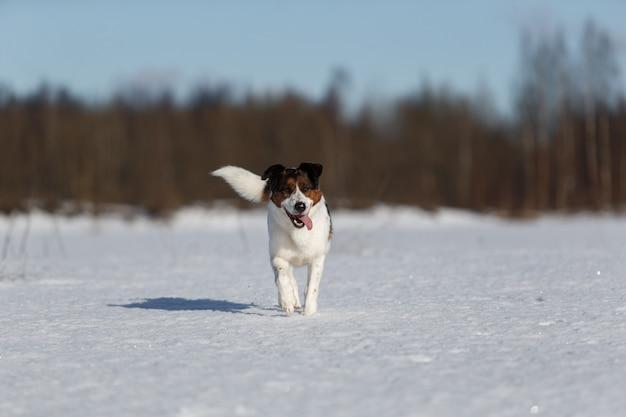 Портрет милой счастливой собаки зимой, на лугу, бегущем в направлении камеры, смотрящей в камеру.