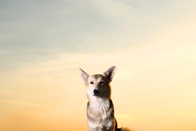 Портрет милой счастливой овчарки смешанной породы на прогулке в фоне освещения заката.
