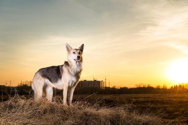Портрет милой счастливой смешанной породы овчарки на прогулке на закате