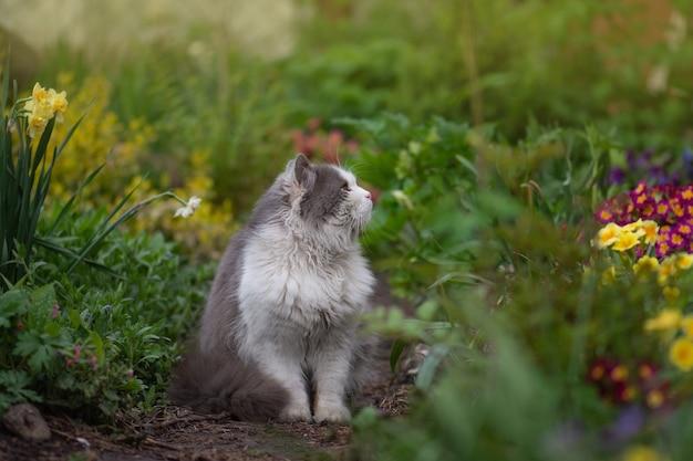 プロフィールのかわいい子猫の肖像画。毛皮のような灰色と白の猫のプロファイルの肖像画をクローズアップ。夏の日没でリラックスした若い猫。