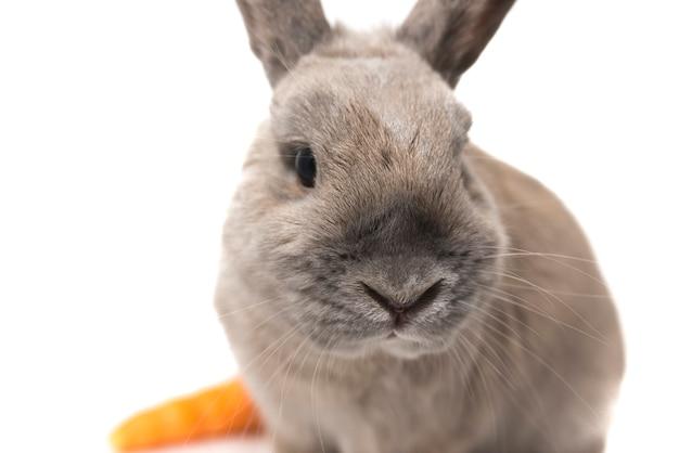 당근 흰색 배경에 고립 된 귀여운 토끼 회색의 초상화