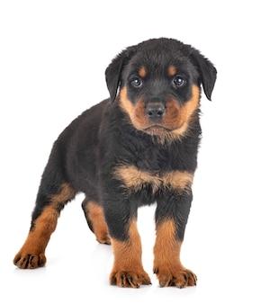 Портрет милого щенка ротвейлера