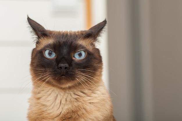 Портрет милой кошки сиамской породы с красивыми голубыми глазами.