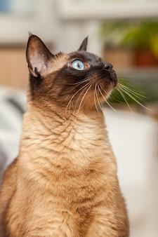 아름다운 파란 눈을 가진 귀여운 샴 품종 고양이의 초상화.