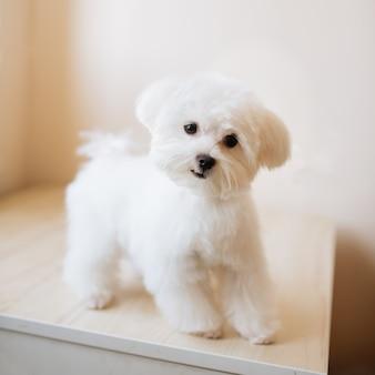 귀여운 흰색 장발 몰타의 초상화 강아지는 그림에서 4 개월입니다