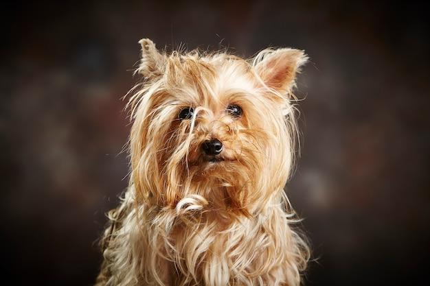 Портрет милой чистокровной собаки йоркширского терьера