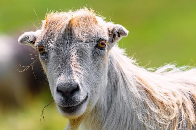 かわいい若いヤギの肖像画