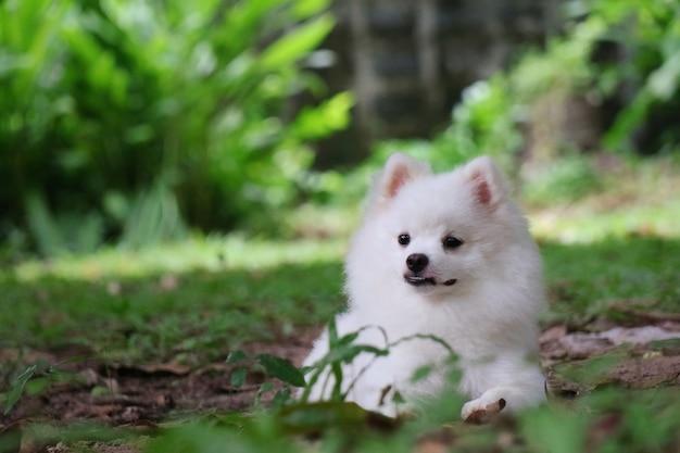 녹색 잔디와 함께 바닥에 앉아 뭔가를 찾고 귀여운 젊은 백인 포메라니안 강아지의 초상화 동물 개념 소프트 포커스