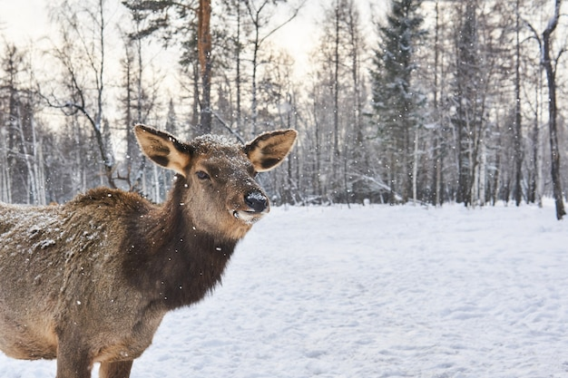 강설량 아래 겨울 숲 숲 사이의 빈터에 있는 사슴 암컷의 초상화