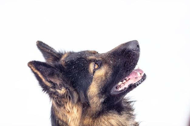 독일 셰퍼드 품종의 강아지의 초상화를 닫습니다.