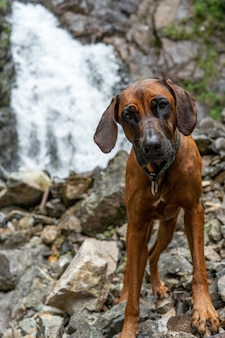 滝の背景に犬の肖像画。渓流近くのローデシアンリッジバック